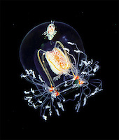 BNPS.co.uk (01202) 558833<br /> Picture: AnimalEarth<br /> <br /> A jellyfish (Bougainvillia superciliaris) with hitchiking amphipod (Hyperia galba)<br /> <br /> New book uncovers the animal world in all its profusion and glory featuring an astounding cornucopia of astonishing life.<br /> <br /> An extraordinary new book reveals the weird and wonderful diversity of life on earth with a selection of stunning pictures of some of the lesser known creatures that inhabit the planet.<br /> <br /> Author Ross Kemp has travelled the globe photographing and researching some of the worlds wackiest animals, many to small to be seen by the human eye, for his new book Animal Earth.<br /> <br /> The book shows the bizarre lives of some of the most unknown and overlooked animals on the planet. Incredible photographs by some of the World's best macro photographers show the marine world in unprecedented detail. Some of the photographs reveal weird and wonderful organisms that have transparent skin, bold colours and some even appear to glow in the dark. <br /> <br /> The book, Animal Earth, costs &pound;29.95 from thamesandhudson.