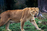 MA39-019z  African Lions - Panthera leo