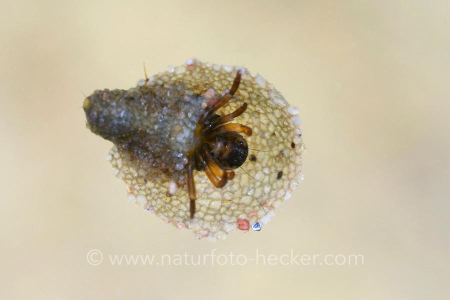 Köcherfliege, Larve in ihrem Köcher, Thremma gallicum, Köcherfliegen, caddisfly, larva, sedge-fly, rail-fly, caddisflies, sedge-flies, rail-flies, Trichoptera