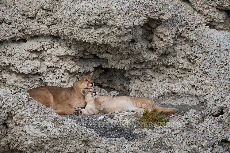 Mountain Lion (Puma concolor) mother and six month old cub nuzzling in shelter of calcium deposits, Sarmiento Lake, Torres del Paine National Park, Patagonia, Chile