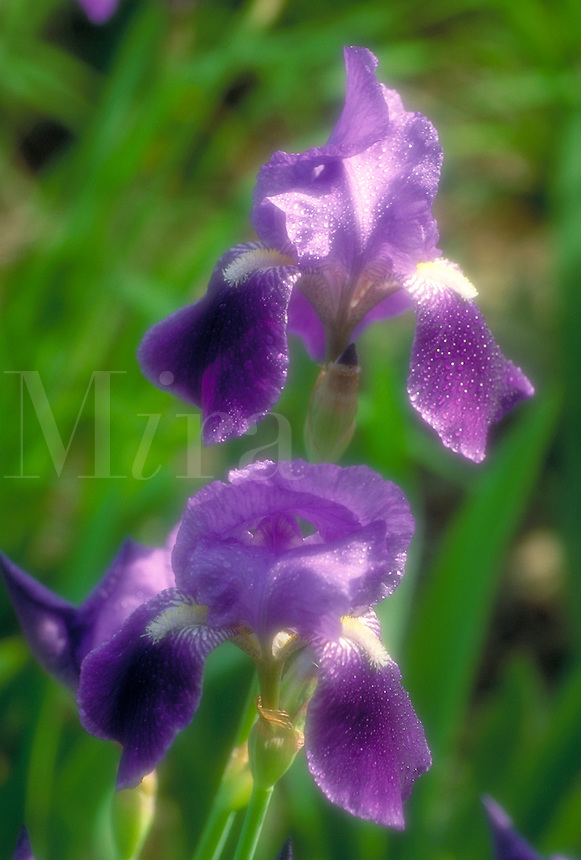 A dew covered purple iris in full bloom. soft focus, flower, flowers, flowering plants.