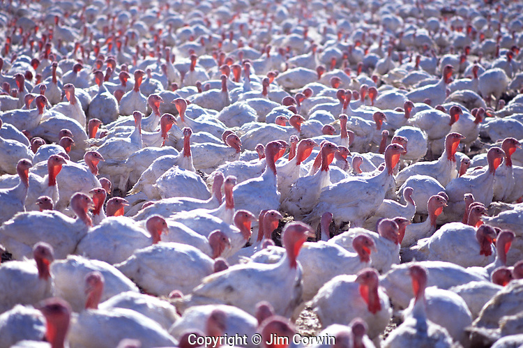 Poultry farm with turkeys near McMinnville, Yamhill County Oregon State USA.
