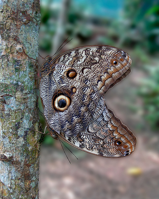 A close up Dorsal of Cream-striped Owls mating. The butterflys' multi-segmented eye, antennae and blue, cream and brown markings stand out against the digitally blurred background.