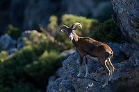 Mouflon/Ovis musimon/male on overlooking position/Parc naturel regional du Haut-Languedoc/Caroux/France