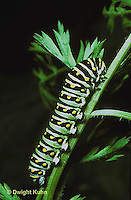 LE32-011b  Butterfly - Eastern Black Swallowtail caterpillar - Papilio polyxenes