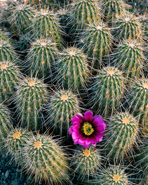Hedgehog Cactus (Echinocereus engelmannii) in bloom in the Superstition Mountains; Tonto National Forest, AZ