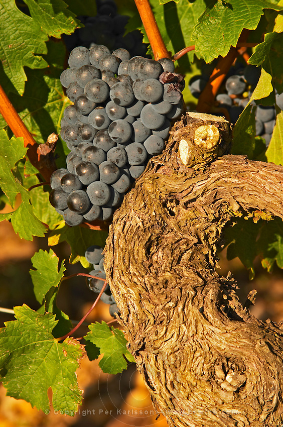 A vine with Ripe Merlot grape bunches on the vine at Chateau Lafleur, Pomerol, Bordeaux. A very old vine
