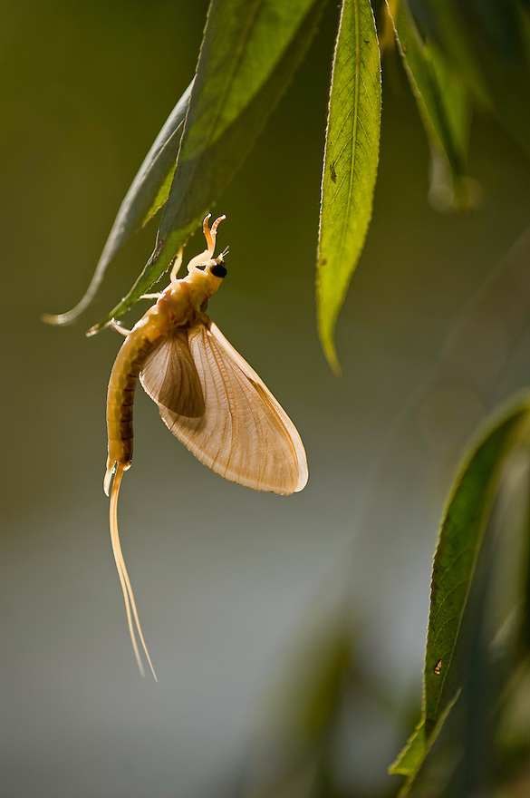 Mayfly (Palingenia Longicauda) hanging from a tree during the molt, the river Tisza, Hungary, June 2009.