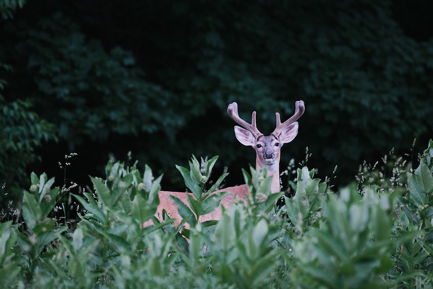 WASHINGTON, DC - JUNE 16, 2014: White Tailed Deer live in abundance in Rock Creek Park. (Photo by Lance Rosenfield/Prime for The Washington Post)