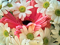 Pink Gerbera flower surrounded by white daisies.