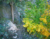Bigtooth Maples (Acer grandidentatum) and Ponderosa Pine (Pinus ponderosa) fallcolors, McKittrick Canyon, Guadalupe Mountains National Park, Texas, USA, November 2005