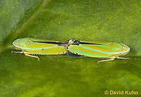 1109-0828  Pair of Versuta Leafhoppers Mating, Graphocephala versuta © David Kuhn/Dwight Kuhn Photography.