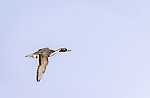 Male Northern Pintail in flight
