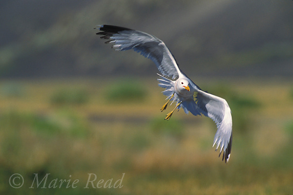 California Gull (Larus californicus) adult flying in to land, Mono Lake, California, USA<br /> Slide # B59-501