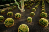 Barrel cactus garden. Sunnylands gardens. Palm Springs, California
