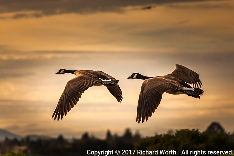 Two Canada geese in flight, wings spread, against an evening orange sky near the Oakland International Airport.