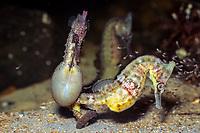 White's seahorse, (c), Hippocampus whitei, pregnant male, and female, Australia