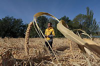 Local farmer Ma Yanwai, who are practising eco-agriculture, checks the quality of his millet before harvest in Alxa Left Banner, Inner Mongolia, China, October 2017.