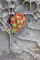 Ice plant growing in sandstone formation. Salt Point State Park. California