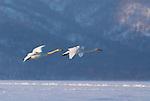 Whooper swan, Cygnus cygnus, group in flight, flying, lake Kussharo-ko, Hokkaido Island, Japan, japanese, Asian, wilderness, wild, untamed, ornithology, snow, graceful, majestic, aquatic. .Japan....