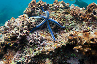 Blue sea star, Devils Crown, Galapagos Islands