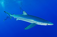 blue shark, Prionace glauca, Azores, Portugal, Atlantic Ocean, model released scuba divers in background