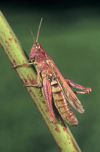 Common Field Grasshopper (red Form) - Chorthippus brunneus
