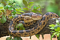 464350001 a wild texas rat snake elaphe obsoleta lindheimeria a large constrictor reptile sits coiled on a low tree limb in the texas hill country near austin in central texas united states