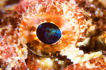 Scorpionfish eye, Scorpaenopsis sp., Anilao, Batangas, Philippines, Pacific Ocean