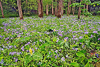 Meadow of Blue Phlox (Phlox divaricata) and Yellow Trillium (Trillium luteum) on forest floor at White Oak Sinks, Great Smoky Mountains National Park, Tennessee