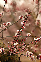 The branch of an apricot tree in bloom in early March.