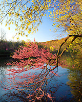 Morning light on Redbud and maple trees at Lake 6; Kickapoo State Park; Vermilion County, IL