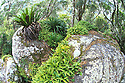 Birds Nest Ferns and orchids growing on granite outcrop, Border Ranges National Park, New South Wales