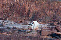 Snowy Owl (Bubo scandiacus) Female or Juvenile, preening Feathers on Frost Covered Log at Boundary Bay Regional Park, Delta, BC, British Columbia, Canada - aka Arctic Owl, Great White Owl or Harfang.  Note bloody face, chest feathers, and claws from feeding on hunted prey.