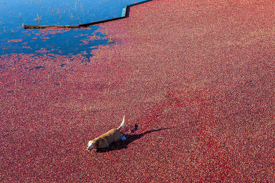 Raymond Thacher's yellow lab, HUDSON, takes a swim in the cranberry bog during a wet harvest. HUDSON, who is 11 years old, has been going to work with Thacher every day since he was a puppy.
