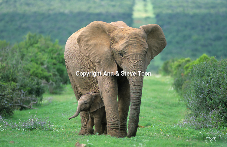 Elephant with calf, Loxodonta africana, Addo National Park, Eastern Cape, South Africa