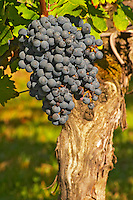 Petit Verdot grape bunches and vines - a very old vine - Chateau de la Tour (or Clos de La Tour), Bordeaux, now Pey la Tour