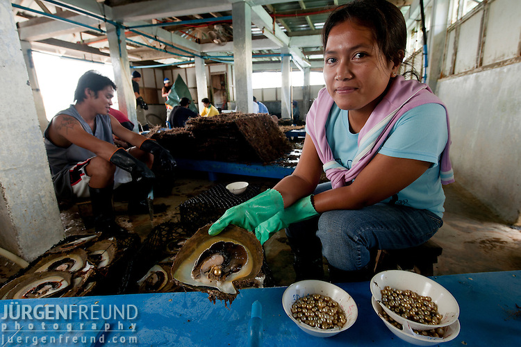 Jewelmer Pearlfarm, the bulk of pearl oysters are sliced open to harvest the pearls after 5 years