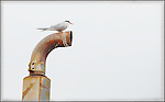 Arctic Tern perching on rusty boat muffler