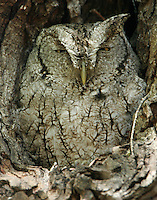 Adult gray eastern screech-owl roosting in a tree cavity