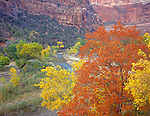 Zion National Park, UT<br /> Vibrant autumn colors of a big tooth maple and velvet ash overlooking the North Fork Virgin River in Zion Canyon