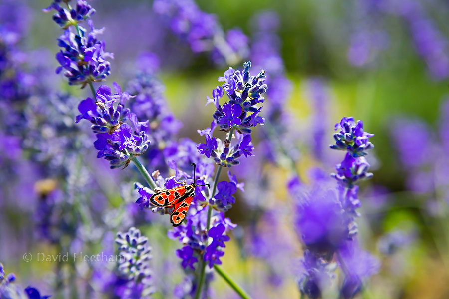 A colorful moth on lavender flowers in the south of France.