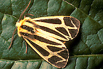 Harnessed tiger moth Apatensis phalerata