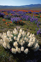 Landscape of a field of hyacinths and poppies. California.