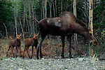 Twin moose calves follow their mother closely in Denali National Park, Alaska.