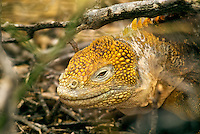 """Because fresh water is scarce in the Galápagos Islands, land iguana obtain the majority of their moisture from the prickly-pear cactus that accounts for 80% of its diet. Charles Darwin called them """"ugly animals, of a yellowish orange beneath, and of a brownish-red colour above: from their low facial angle they have a singularly stupid appearance."""""""