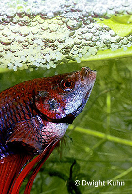 By03 kuhn photo for Betta fish bubbles