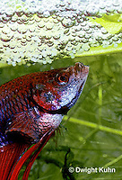 BY03-062z  Siamese Fighting Fish - male making protective bubble nest for eggs - Betta splendens