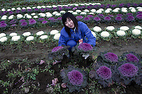 ISHIONAMAKI, JAPAN - DECEMBER 5: Student Wakayama Airi, age 17, collects flowers in the garden of Kita High School supported by Save The Children Japan on December 5, 2011, in Ishionamaki, Japan. Save The Children Japan gives out scholarships to families and assists children who's lives were disrupted and devastated by tsunami. Many children lost parents, family members and where traumatized during the tsunami.  Northeastern Japan's coastline was struck by an earthquake measuring 9.0 on the Richter scale and a Tsunami on March 11, 2011 which destroyed villages and livelihoods for hundreds of thousands of people. Almost 16,000 dead, thousands missing, more than 700,000 properties destroyed and an estimated 387,000 survivors lost their homes. Its estimated that it will take more than five years to rebuild. The cost is estimated to 309 billion U.S. dollars, the world's most expensive natural disaster. Many children suffered especially with school destroyed, education interrupted and the loss of family members took a heavy toll. Save The Children Japan runs many programs to assist families and children in the tsunami stricken areas. one of the few ngo's working here they assist with food, hygiene products, shelter, counseling, and many after school and pre school programs and scholarships for families who lost their livelihood after the tsunami. (Photo by Per-Anders Pettersson)
