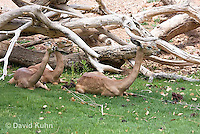 0523-1109  Small Herd of Gerenuk, Resting, Litocranius walleri  © David Kuhn/Dwight Kuhn Photography